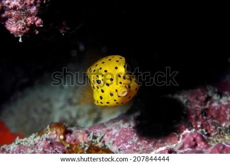Yellow Spotted Boxfish _ Ostracion cubicus - stock photo