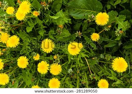 Yellow spring flowers - stock photo