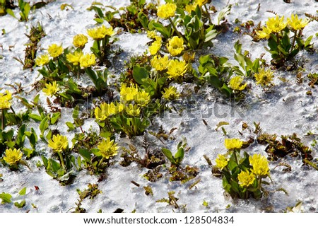 Yellow spring flowers close-up rising from the ice - stock photo