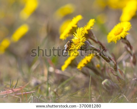 Yellow spring flowers Coltsfoot (Tussilago farfara) are one of the first blooming in spring. - stock photo