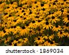 Yellow spring flowers in field, shallow DoF - stock photo
