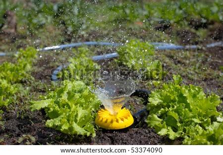 Yellow sprinkler over lawn watering fresh lettuce - stock photo