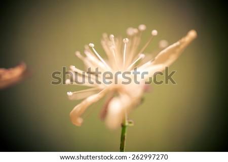 Yellow St Johns flowers - stock photo