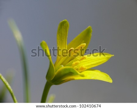 Yellow star-of-Bethlehem, Gagea lutea - stock photo