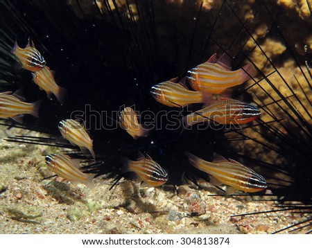 Yellow-striped cardinalfish (apogonidae) and Diadema sea urchin - stock photo