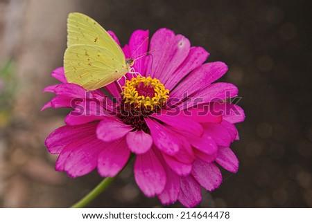 Yellow Sulphur Butterfly on Pink Zinnia - stock photo