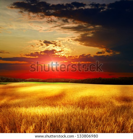 yellow summer field with the sky