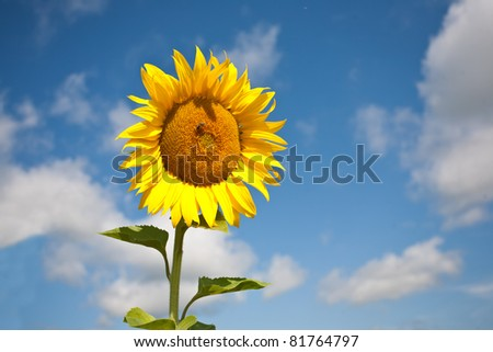 Yellow sunflower against blue sky in field with bee.