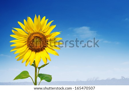 Yellow sunflower and blue sky