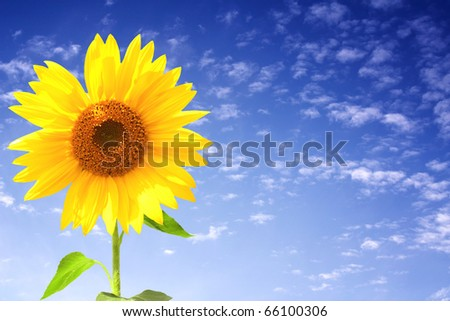 Yellow sunflower and blue sky - stock photo