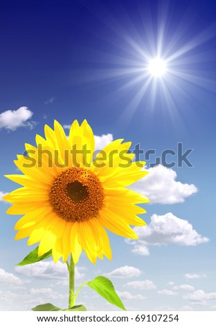 Yellow sunflower and bright sun - stock photo