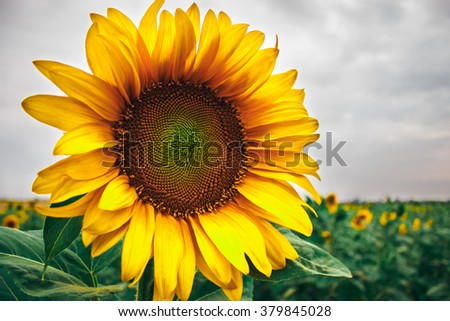 Yellow sunflower and gray sky, bad weather - stock photo