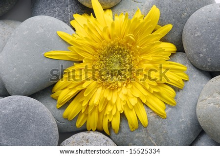 Yellow sunflower and spa stones