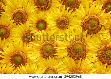 yellow sunflower bloom, background close up