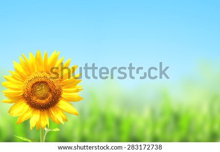 Yellow sunflower, green grass and blue sky - stock photo