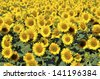 Yellow sunflower (Helianthus annuus) field in blossom - stock photo