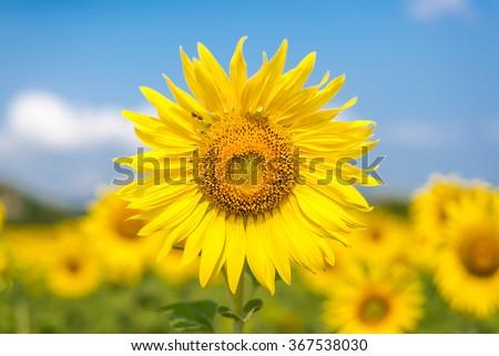 yellow sunflower in sunflower garden and blue sky  - stock photo