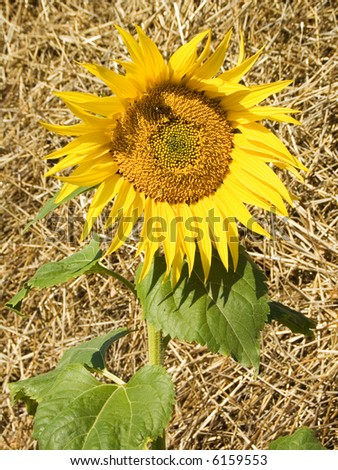 Yellow sunflower on a background of new-mown hay - stock photo