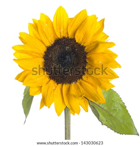 Yellow Sunflower on White Background