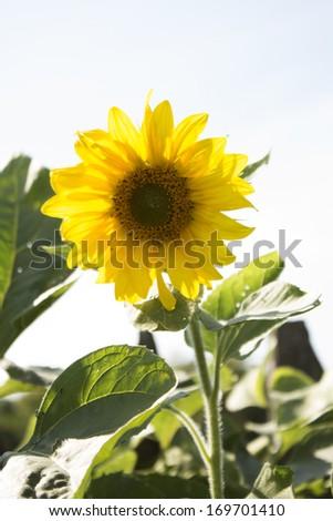 Yellow sunflower. Photo. - stock photo