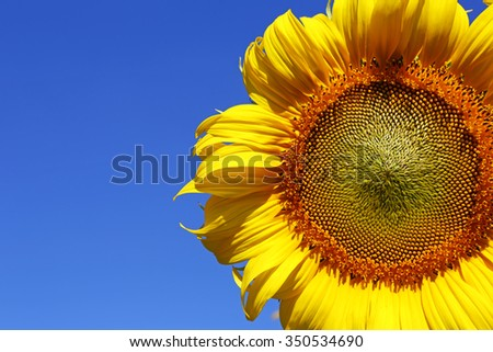 Yellow sunflower with blue sky background - stock photo