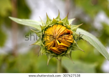 Yellow sunflower with closed petals and green leaves, selective focus - stock photo
