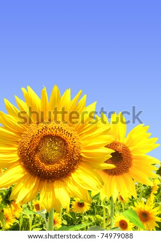 Yellow sunflowers and blue sky - stock photo