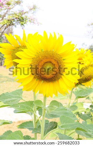 Yellow sunflowers blooming in the garden.
