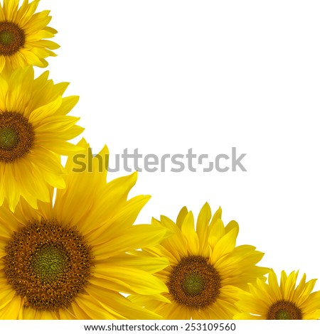 Yellow sunflowers in a corner of a square frame isolated on white background - stock photo