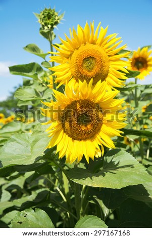 Yellow sunflowers in a field - stock photo