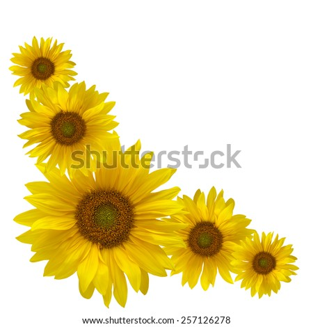 Yellow sunflowers isolated on white background in square frame in the corner - stock photo