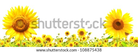 Yellow sunflowers. Isolated over white - stock photo