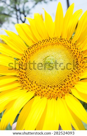 Yellow Sunflowers on a Field in Summertime.