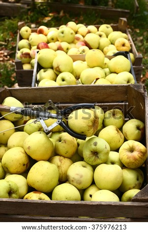 yellow sweet apples harvest in the wooden box on the autumn garden background