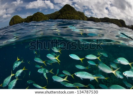 Yellow tail fusiliers (Caesio cunning) school in Palau's inner lagoon.  These fish are found throughout the Indo-Pacific wherever there is current. - stock photo