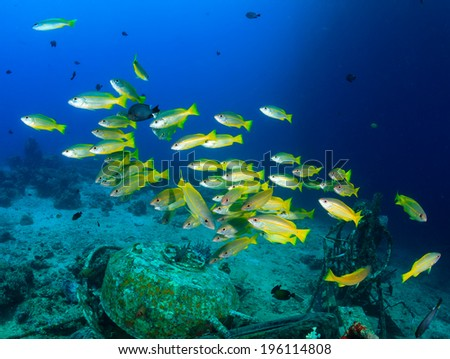 Yellow tailed snapper around an underwater wreck