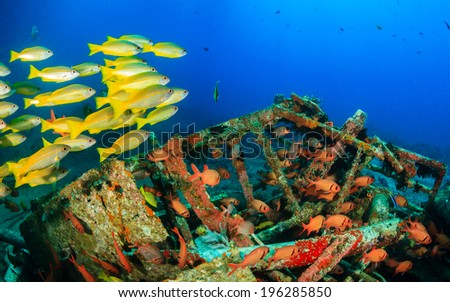 Yellow tailed snapper around an underwater wreck - stock photo