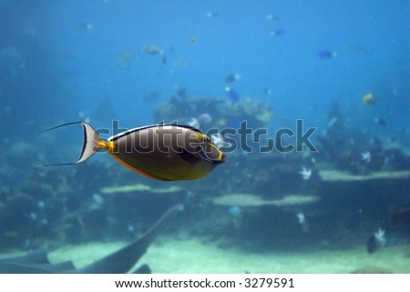 Yellow tailed Unicornfish (Naso brevirostris) swimming over coral reef.