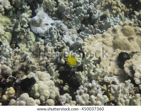 yellow tand fish in coral reef and other fish species - stock photo