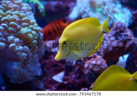 Yellow tang fish beside corals in aquarium