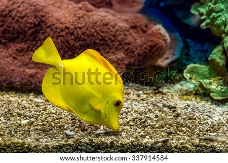 Yellow tang searching for food on the gravel bottom in saltwater aquarium of Monaco Oceanographic Museum.