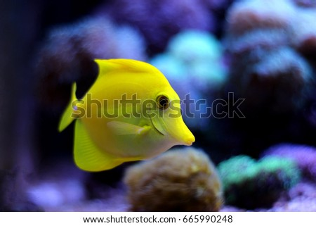 Yellow Tang - (Zebrasoma flavescens)
