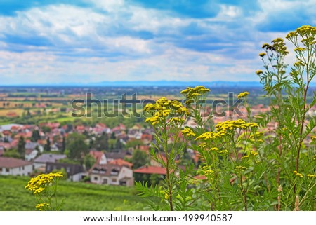 Yellow tansy flowers on the mountain on the background of the German city. Strahlenburg Castle vineyard, view from the highest grape mountain to the Schriesheim city, Germany