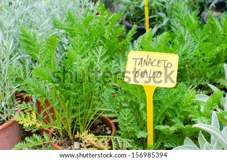 Yellow Tansy plant for sale in a local market