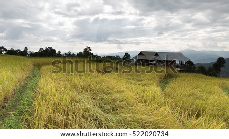 yellow terraced rice paddy field with traditional wood hut in rural thailand