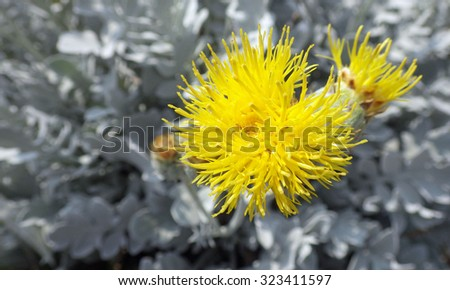 yellow thistle flowers