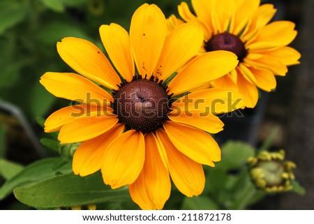 Yellow tickweed wildflower (coreopsis wildflowers) - stock photo