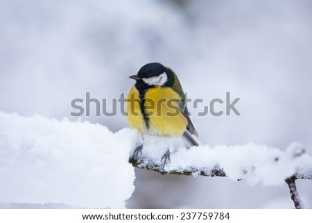 Yellow tit bird sits on the branch in winter time - stock photo