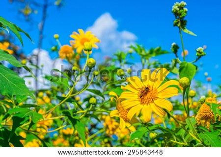 Yellow Tithonia diversifolia flowers field in Thailand tropical forest. The plant is a species of flowering plant in the Asteraceae family. - stock photo