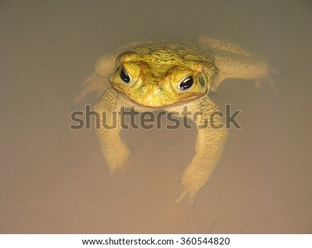 Yellow toad - stock photo